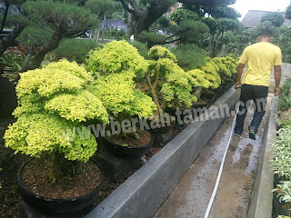 jual tanaman Bonsai Legistrum