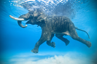 elephant swimming in water, lake, photography, hd