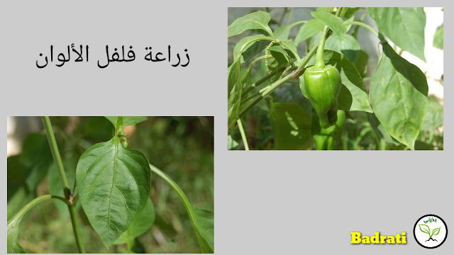 زراعة الفلفل من البذور Capsicum Annuum