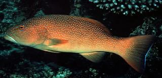 ikan kerapu sunuk