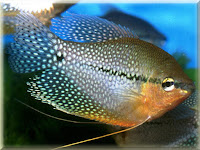 Pearl Gourami Fish Pictures