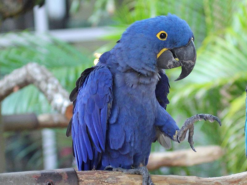 Bird Directory: Hyacinth Macaw Parrot