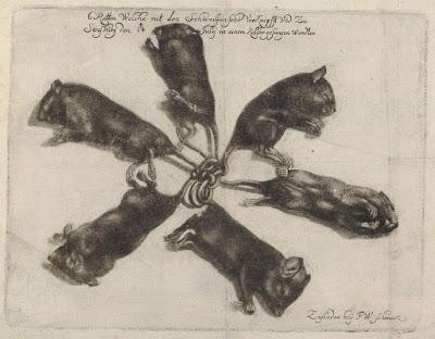 Ilustrasi seekor raja tikus ditemukan pada tahun 1683.