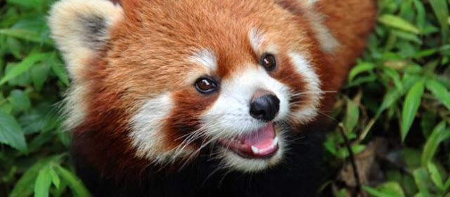 Panda rojo y especies en peligro de extincion en biologia