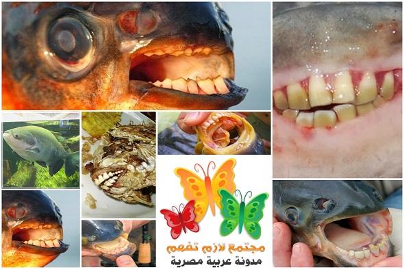 Pacu-Fish-with-Human-Teeth-باكو-سمكة-لها-اسنان-إنسان