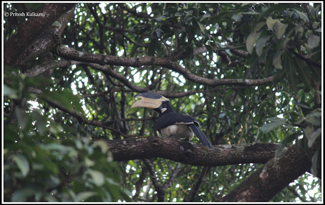 Malabar Pied Hornbill at Rameshwar Temple