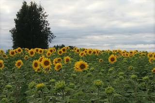 Länsikylässä auringonkukkia