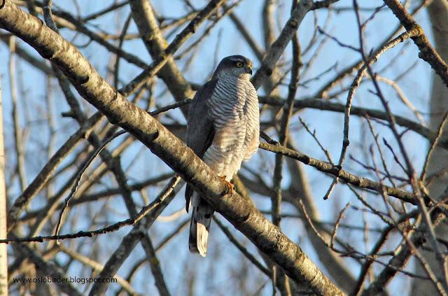 sparrowhawk%2BIMG 5946%2Bcopy