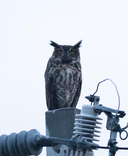 Great Horned Owl - Florida Keys