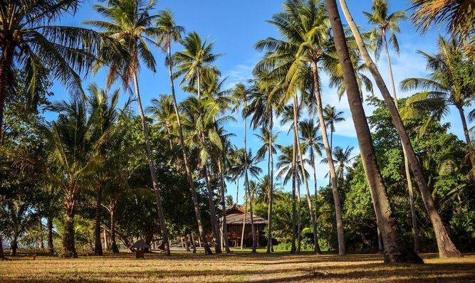 Coconut trees at Puerto Galera