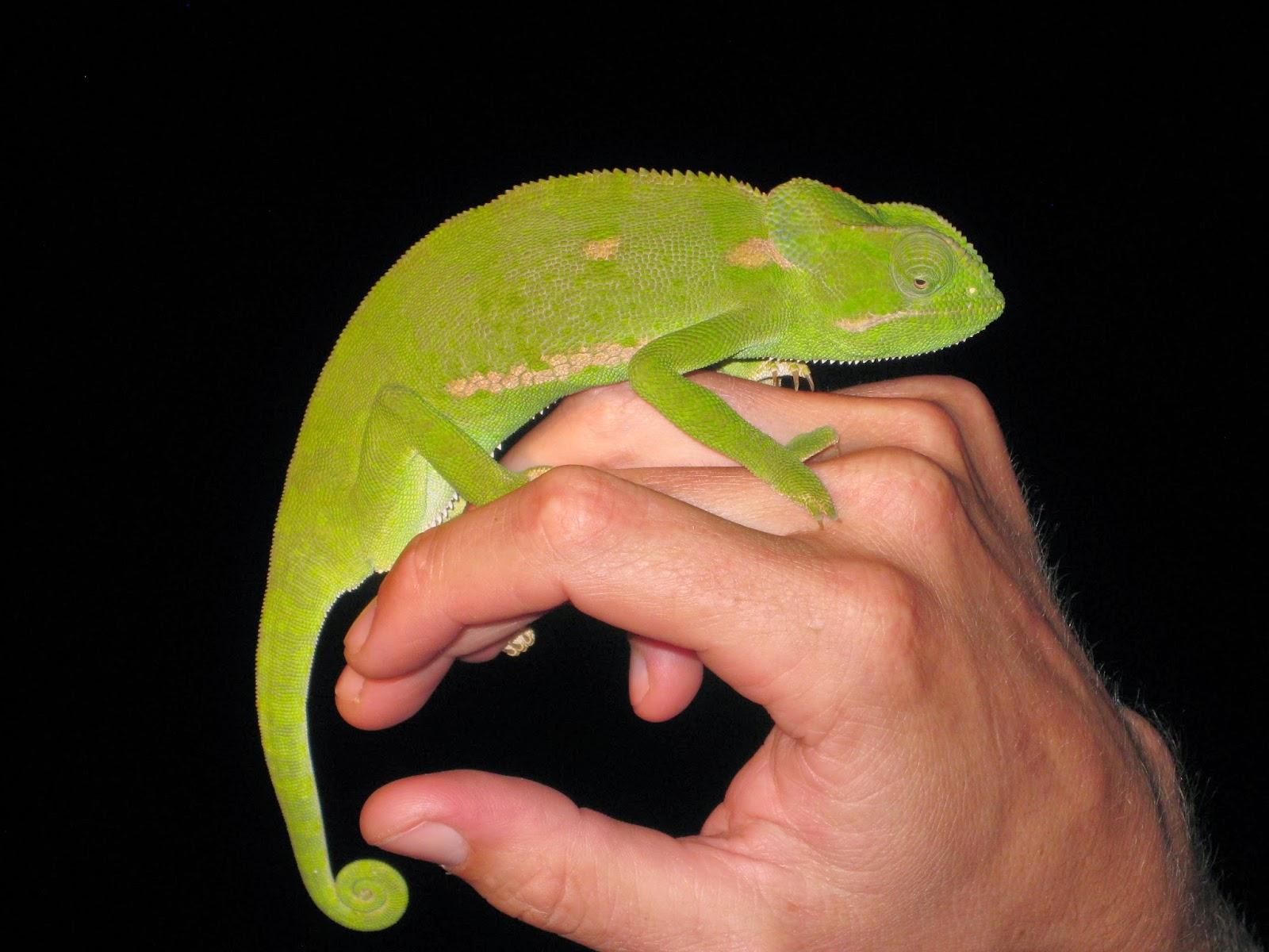 Sabi Sands - Service spots a chameleon in a tree