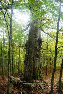 Vista del tronco del Roblón de Bustiello