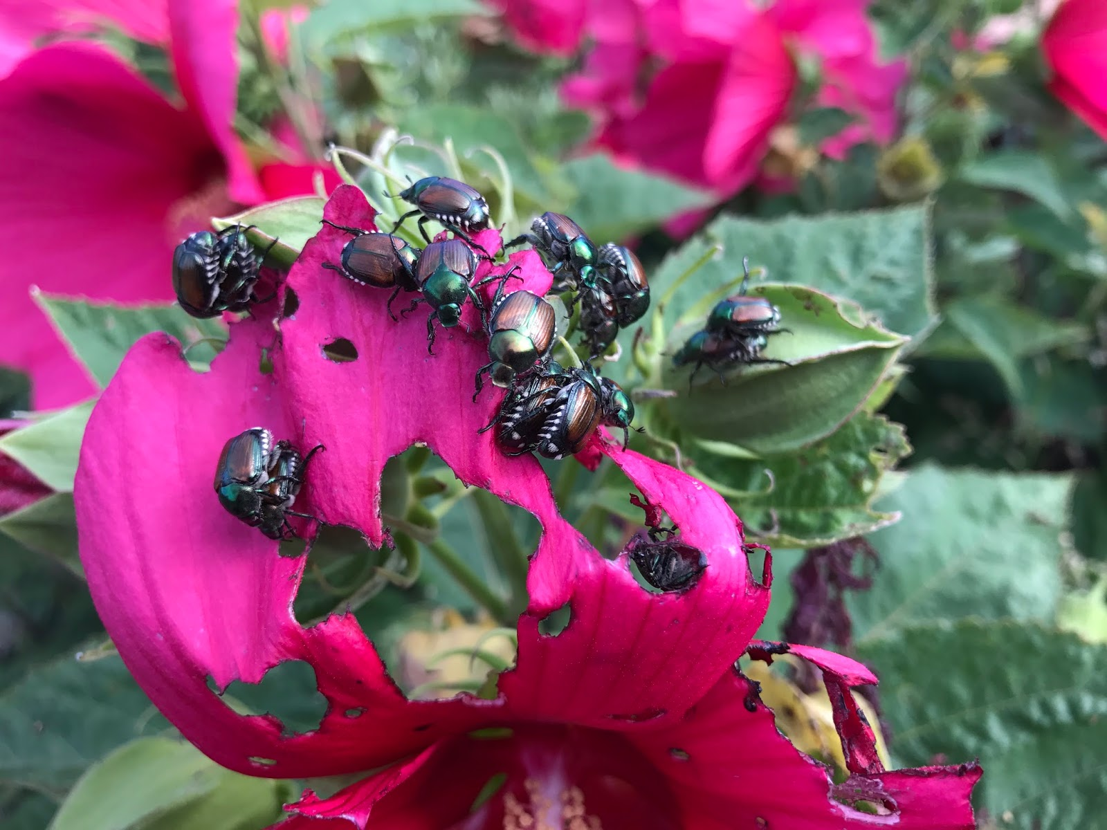 Colorado Garden Punch List Fall Japanese Beetle 2017 Update Are