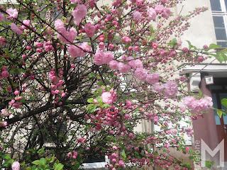 Migdałek trójklapowy (Prunus triloba)