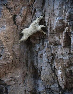 Kambing Gunung, Sang Pendaki Sejati