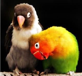 penyakit pada lovebird, penyakit lovebird, lovebird sakit