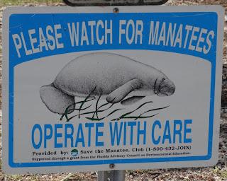 Manatees im Fort de Soto Park, Florida