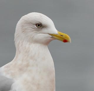 Kumlien's Gull iris and bill
