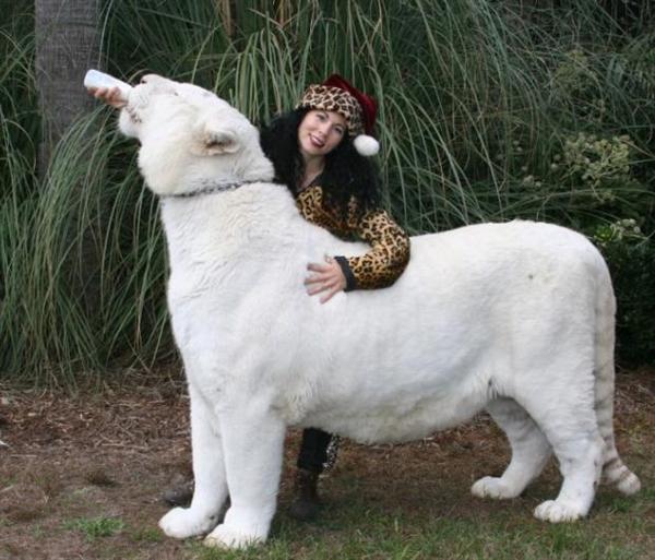 Liger | A-Z List of 125 Rare Albino Animals [Pics]