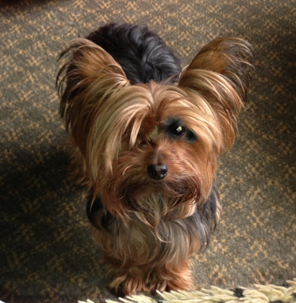 miniature yorkshire terrier june