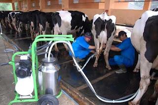 konsep pemerahan susu sapi mengunakan mesin moderen