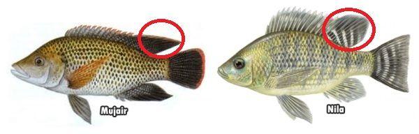 Gambar Perbedaan Ikan Nila Dan Mujair