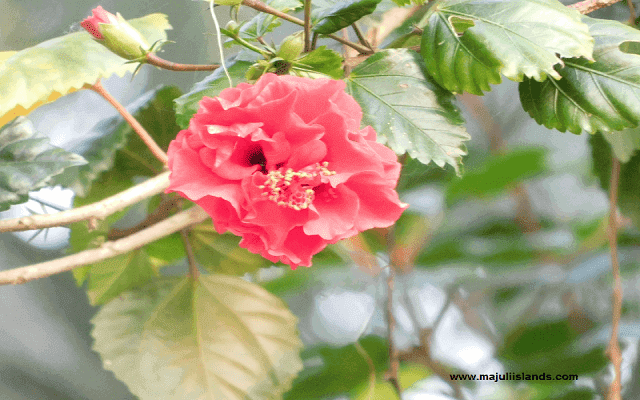 Flower Majuli Island
