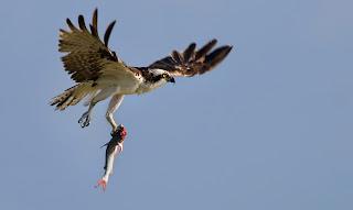 Foto Elang membawa ikan