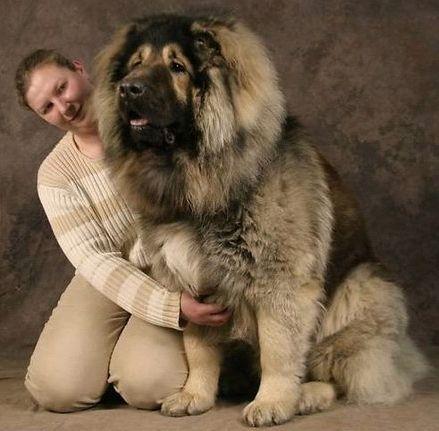 الكلب القوقازي قادر على صيد الدببة وقتل الذئاب 073.jpg