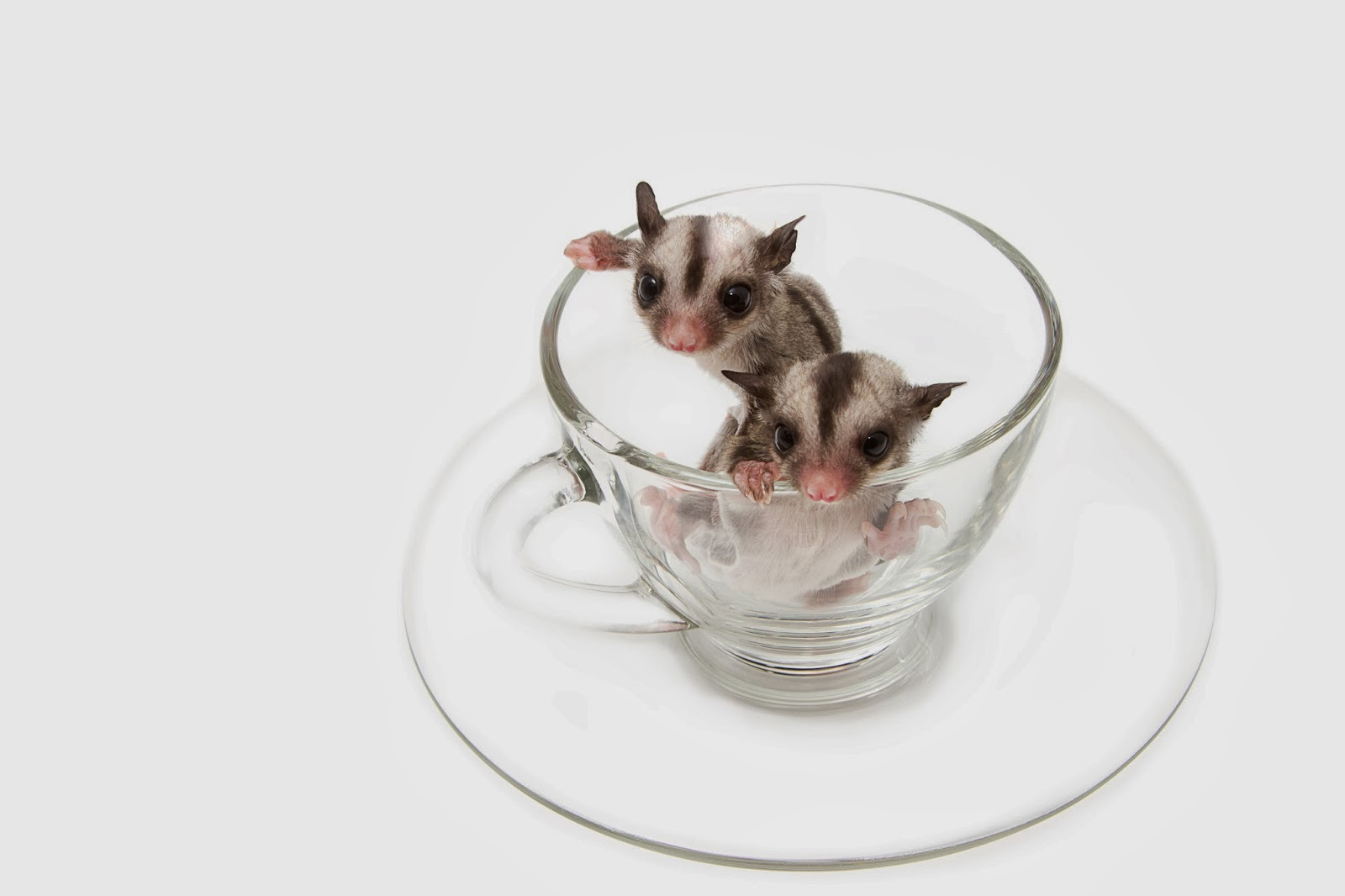 Hewan Kawin2016 Pet Sugar Glider Care Images