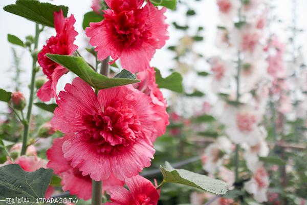 愛在員林蜀葵花海3/20開園,各種顏色蜀葵爭奇鬥艷,免費參觀