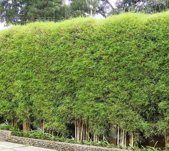 Bambu Jepang Nama Dan Gambar Tanaman Directory Tanaman Nama Dan Gambar