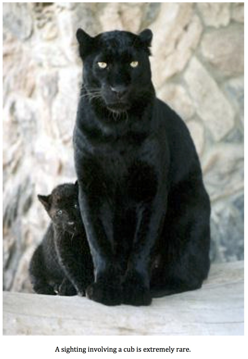 Very Large Black House Cat