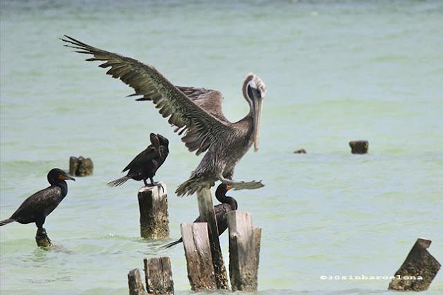 Birds in Holbox island, México