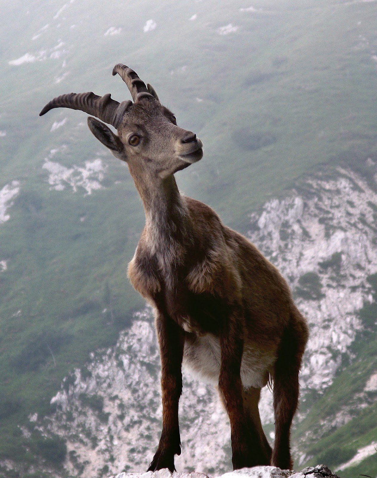 Picture of a capricorn up high on a mountain.