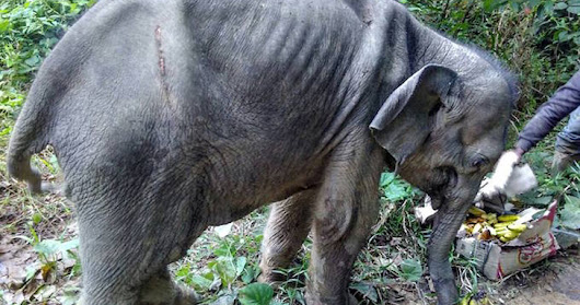 Rescuer Saves Starving Baby Elephant With Bullet Wounds