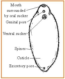 Pinworm tojás mérete. Népszerű Bejegyzések