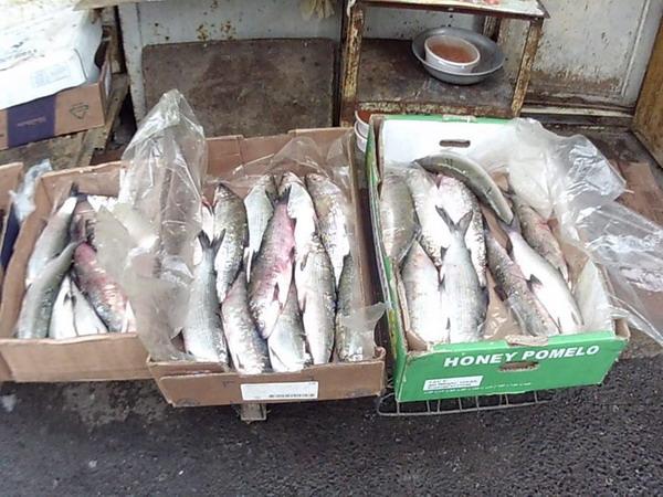 Sube 30% reserva de pescado en Sevan