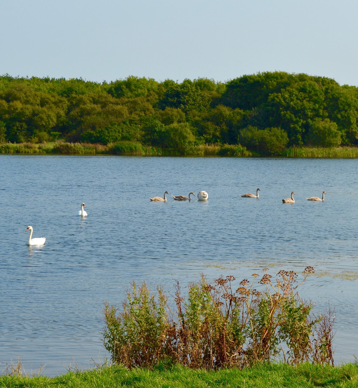 A walk around Ladyburn Lake at Druridge Bay Country Park | Northumberland - swans on lake