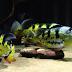 Jenis Jenis Peacock Bass / PBASS (Cichla Spesies)