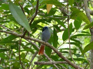 Tchitrec des Mascareignes - Terpsiphone de Bourbon - Oiseau la Vierge - Terpsiphone bourbonnensis