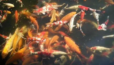 Ragam jenis ikan tawar di danau sampireun