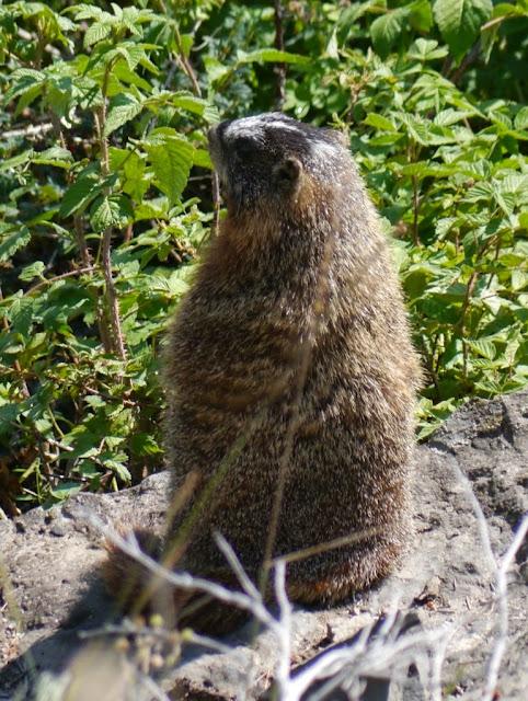 Une belle marmotte fait le guet