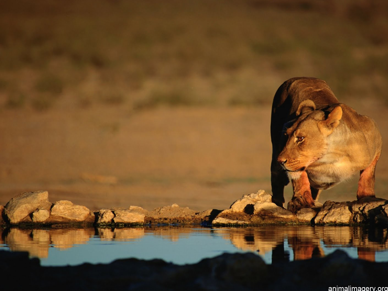 Lion Hd Wallpapers: Lion HD Wallpapers African Lions Pictures