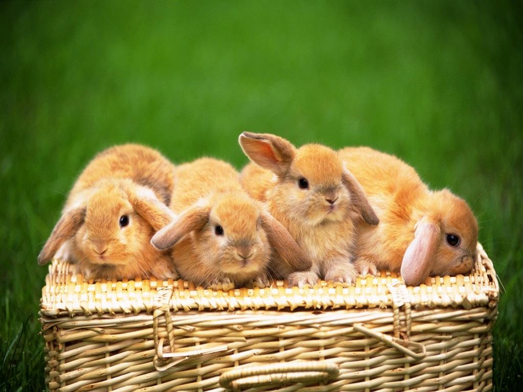 Cute White Rabbit Wallpapers For Desktop: HQ DESKTOP WALLPAPERS: Rabbits Wallpapers