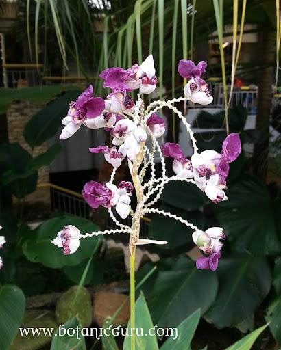Thalia dealbata, Powdery Thalia flower