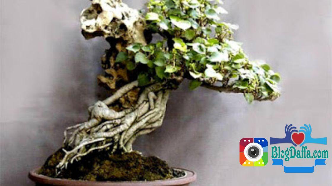Bonsai pohon waru