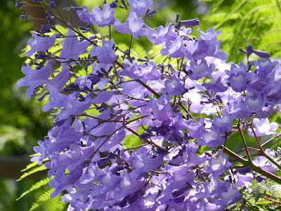 寝屋川市のジャカランダ《世界三大花木の一つ》(6月に咲く青紫色の美しい花)