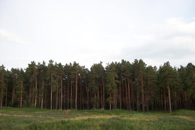 сосновый лес в Кирзяти