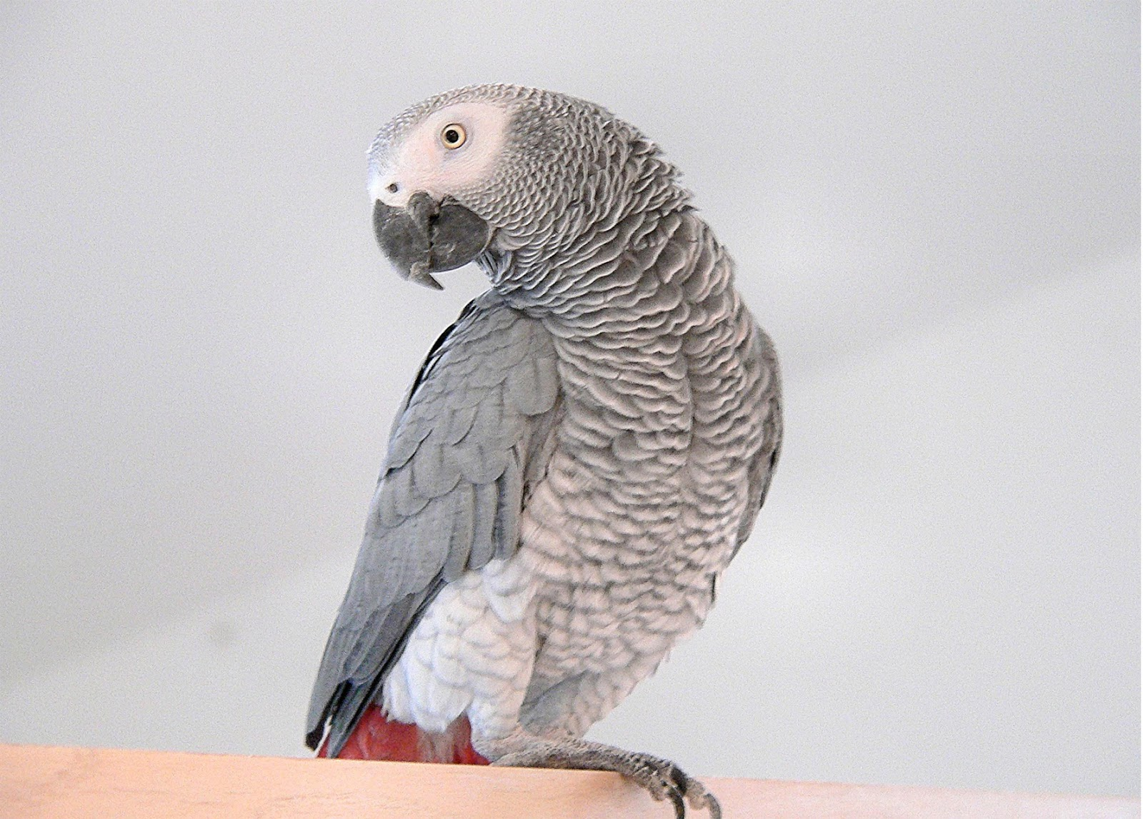 African Grey Parrot — Full Profile, History, and Care